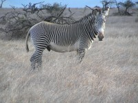 Common Zebra, Lewa Conservancy, Kenya