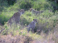 Mother Cheetah and cubs, Lewa Conservancy, Kenya