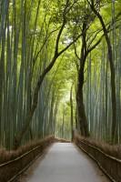 Arashimyama's Bamboo Forest, Kyoto, Japan