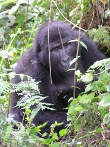 Endangered Mountain Gorilla, Uganda