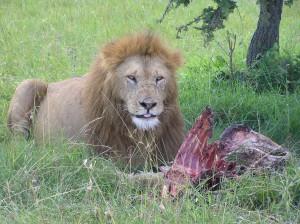 Female Lion, Shaba Reserve, Kenya